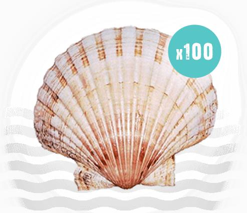 100 Scallop Shells
