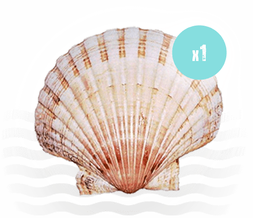 Single Scallop Shell