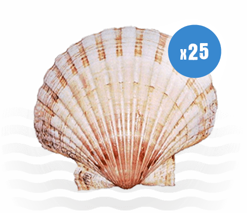 25 Scallop Shells ideal for Crafts