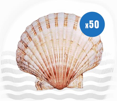 50 Atlantic Scallop Shells