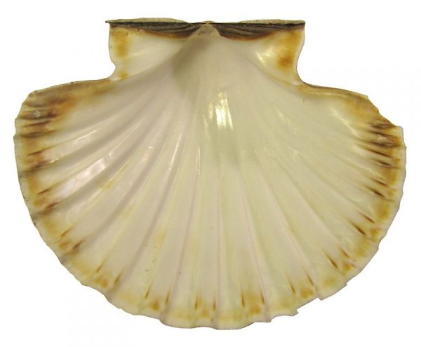 A curved scallop shell